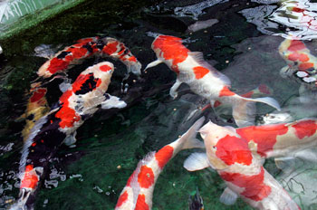 Koi mart japan koi and koi supplies from japan for Japanese koi fish wholesale